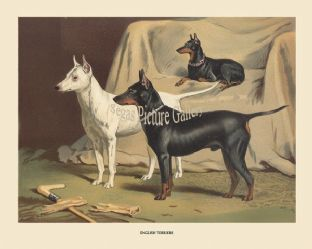English Terriers White/Black